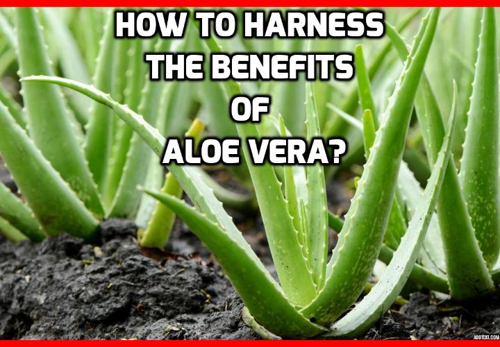 How to Harness the Benefits of Aloe Vera?  Benefits of Aloe Vera - HERBAL REMEDIES USING ALOE VERA - Here are several practical applications for different parts of the Aloe Vera plant. Read on to find out more.