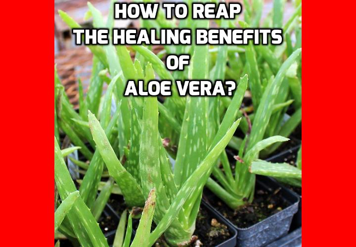 How to Reap the Healing Benefits of Aloe Vera? The healing benefits of aloe vera are applicable to burns, minor cuts, scrapes, insect bites and other skin irritations. Aloe vera is easy to care for if you want to plant it in your garden and only needs water once a month or when the stalks become shrivelled. Planted in the ground, it can tolerate more drought and will grow slightly larger. Aloes are cold hardy to about 45 degrees.