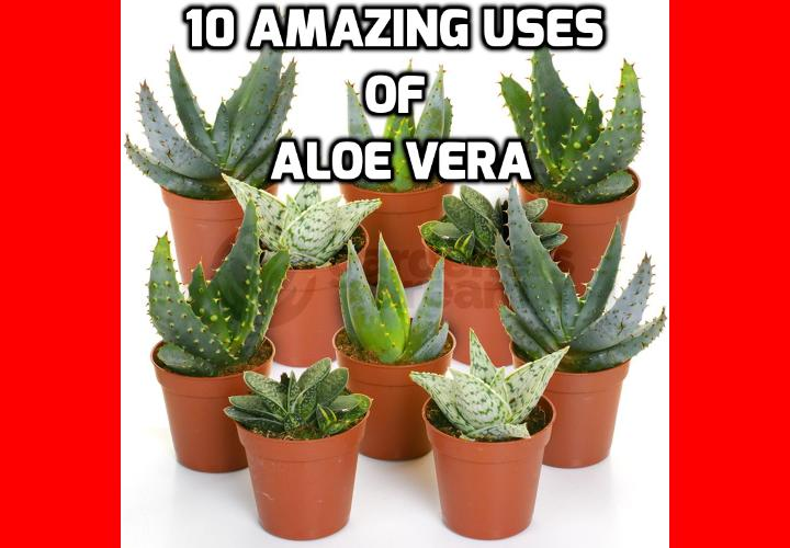 Revealing Here the 10 Amazing Uses of Aloe Vera - Aloe Vera information and how the uses of aloe vera in alternative herbal treatments to treat ailments and problems such as healing wounds, for skin rejuvenation, acting as a laxative and reducing skin irritation and relieving sun burn.