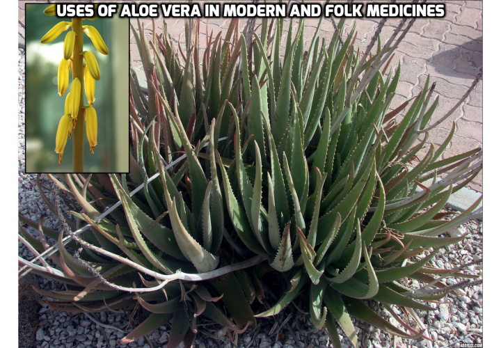 Revealing Here the Top 3 Uses of Aloe Vera - Uses of Aloe Vera in Healing - Aloe has such unique healing abilities, proven scientifically, like no other plant. There have been many studies on aloe. The key ingredient in aloe vera is mucopolysaccharides [MPS] (long-chain sugars) that have very strong antiseptic, anti-inflammatory, anti-viral, anti-tumor and immunomodulatory properties proven scientifically. Many articles on aloe's remarkable healing abilities were published in the most prestigious medicinal magazines.