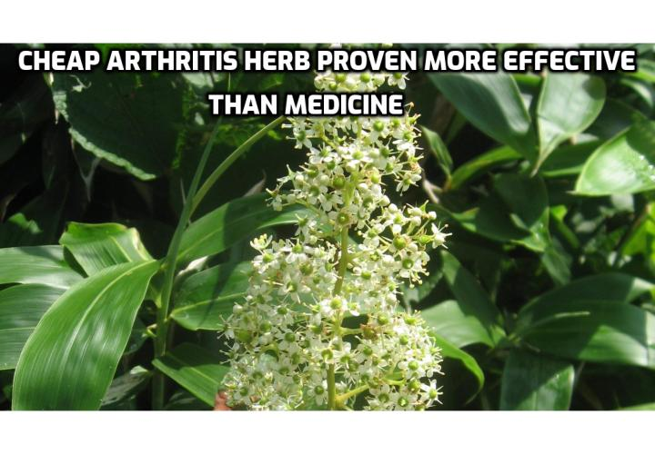 Alternative Arthritis Treatment – Arthritis is considered incurable from the Western traditional pharmaceutical point of view. At best, medications can reduce inflammation and pain for a while. And most often it comes at the cost of serious side effects. But now, a team of researchers from Peking Union Medical College Hospital have proven an old Chinese herb (widely available in health food stores) more effective than modern medicine. In fact, majority of those who used the herb experienced at least 50 percent reduction in inflammation.
